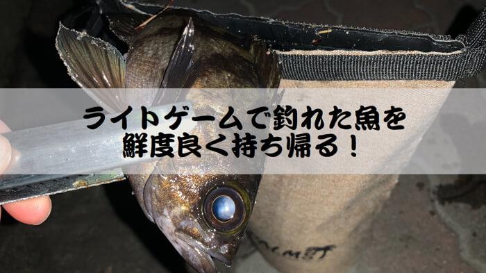 【釣った魚を美味しく食べる】ライトゲームで釣れた魚を鮮度良く持ち帰る方法!